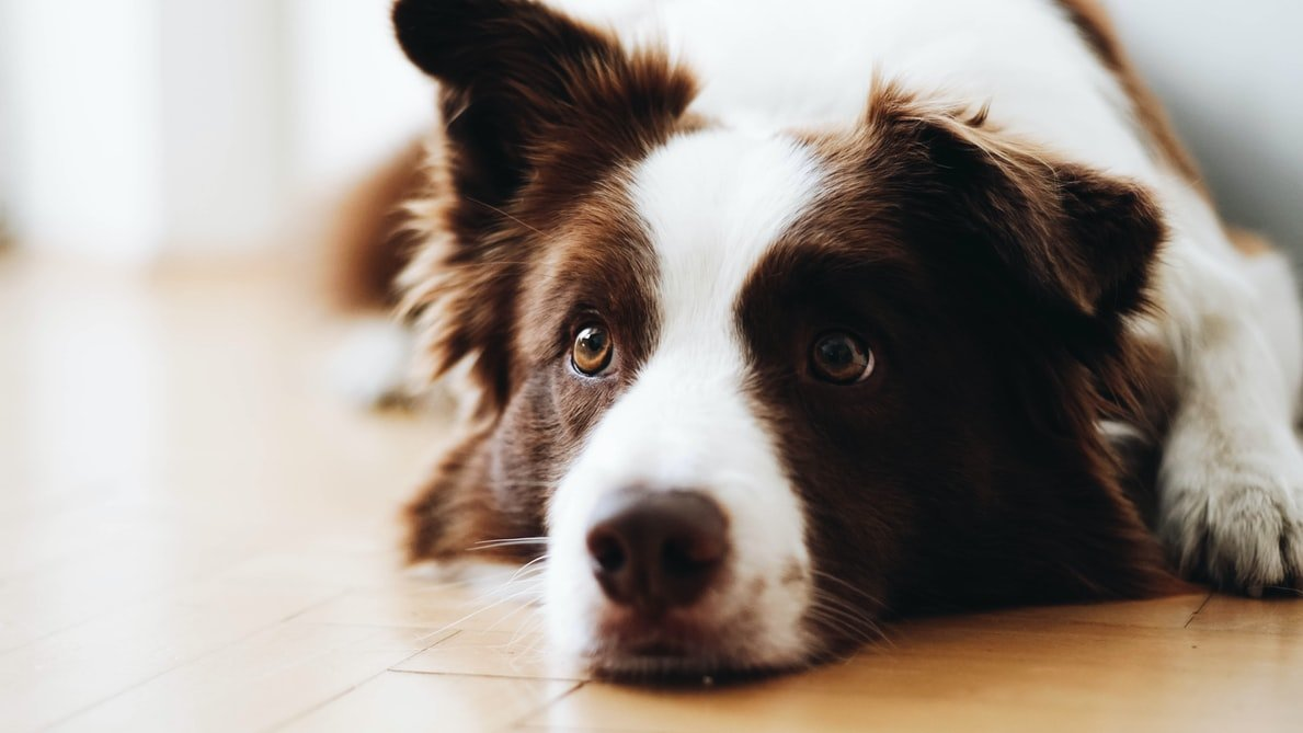 at home first aid tips for pets